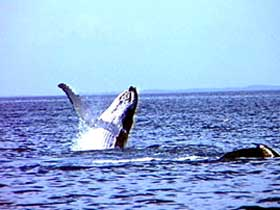 Whale Watching - Tourism Cairns