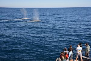 Blue Whale Perth Canyon Expedition - Tourism Cairns